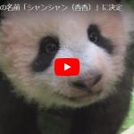 赤ちゃんパンダの名前が「シャンシャン(香香)」に決定!かわいいパンダ親子&上野動物園園長のインタビュー動画大公開!