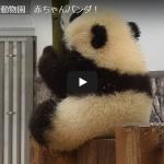 パンダの赤ちゃん名前発表「シャンシャン(香香)」に決定!生後100日を迎えたときの貴重な動画&子供パンダが飼育員と遊んでいる可愛すぎる動画大公開!