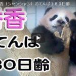 シャンシャン 180日齢動画公開!これまでの成長記録写真と観覧応募方法 フランスの赤ちゃんパンダは凶暴で可愛くないという噂!?その驚愕の理由とは!?