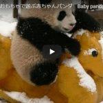 パンダの最新のかわいい動画! 脱走を試みる赤ちゃんパンダvs飼育員の映像が可愛すぎてヤバイ!!