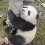 パンダの赤ちゃんの可愛すぎる動画集 可愛すぎる死闘を繰り広げる飼育員VS赤ちゃんパンダ