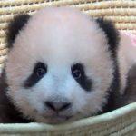 シャンシャン パンダの赤ちゃんの可愛すぎる最新動画!130日齢&120日齢を迎えるまでの可愛いすぎる衝撃映像大公開!